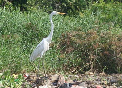 Burung Kuntul Desa Wisata Ketingan rental mobil jogja