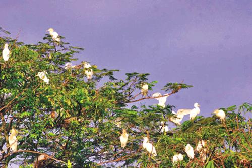 Burung Kuntul Desa Wisata Ketingan sewa mobil jogja